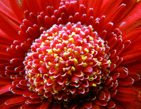 flower; red; chrysanthemum; close up; gift