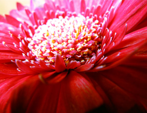flower; red; chrysanthemum; close up