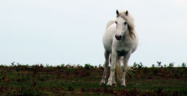 White pony on Hopesay Hill, Shropshire