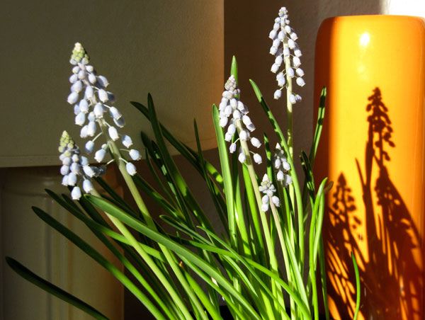 Grape Hyacinth shadows