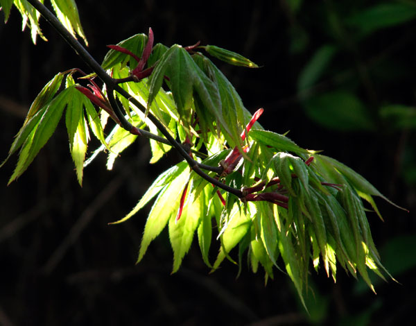 Japanese Maple evening sun