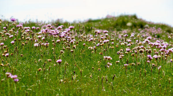 Thrift on cliff-top, Anglesey