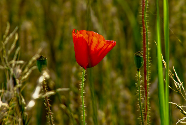 Poppy in wheat field