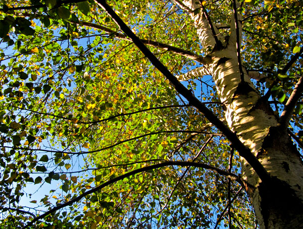 Silver Birch in Autumn