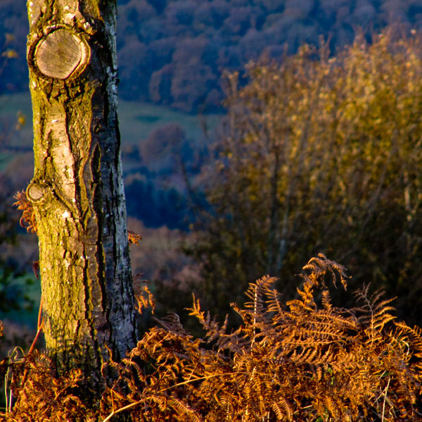 Tree on Bringsty common
