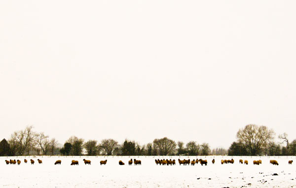 Sheep in snow ~ Herefordshire