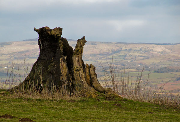 Tree stump at View Edge