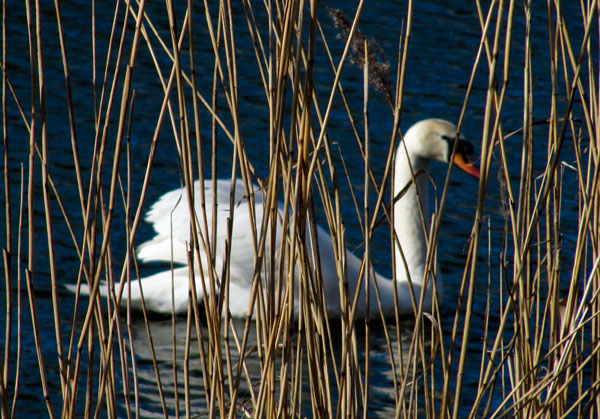 Swan at Conder Green