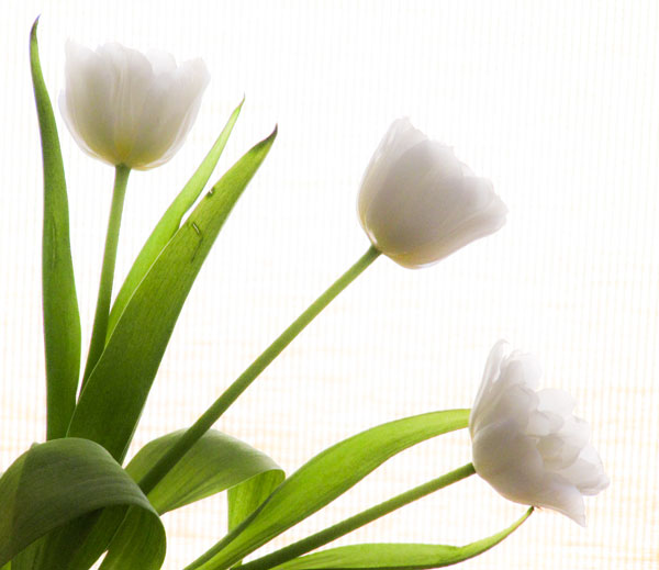 white tulips