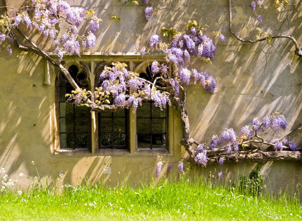 Wisteria in bloom at The Abbey