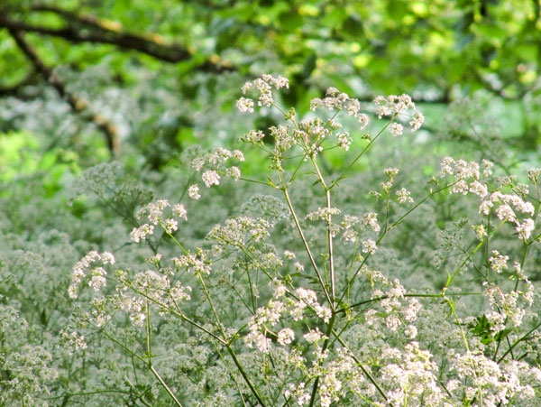 Cow Parsley at The Abbey