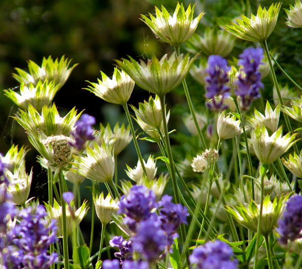 Masterwort Astrantia with Lavender